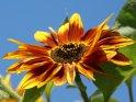 Nahaufnahme einer bräunlich gelben Sonnenblume vor blauem Himmel.    Dieses Motiv finden Sie seit dem 27. September 2009 in der Kategorie Sonnenblumen.