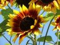 Dieses Motiv findet sich seit dem 27. September 2009 in der Kategorie Sonnenblumen.