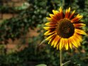 Dieses Motiv befindet sich seit dem 27. September 2009 in der Kategorie Sonnenblumen.