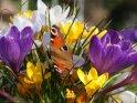 Schmetterling sitzt auf Krokussen