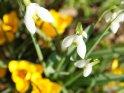 Schneeglöckchen und gelbe Krokusse aus der Vogelperspektive