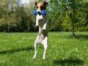 Fliegender Hund mit seinem Spielzeug