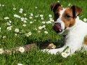 Ein Hund liegt auf einer Wiese mit zahlreichen Gänseblümchen. Vor ihm liegt ein etwas größeres Stöckchen.