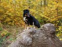 Foto von einem Hund, der in einem herbstlich bunten Wald auf einem Baumstamm sitzt.