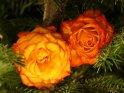 Orange rote Rosen in einem Tannenbaum
