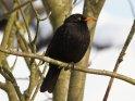 Drossel    Dieses Kartenmotiv wurde am 25. Dezember 2010 neu in die Kategorie Vögel aufgenommen.