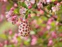 Ein mit Herzen bemaltes Osterei hängt an einem blühenden Zierapfel.