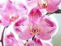 Dieses Motiv finden Sie seit dem 27. April 2011 in der Kategorie Orchideen.