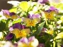 Stiefmütterchen    Dieses Motiv findet sich seit dem 27. April 2011 in der Kategorie Frühlingsblumen.