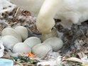 Schwan mit Eiern