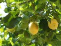 Aus der Kategorie Bäume auf Korfu