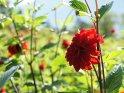 Dieses Kartenmotiv ist seit dem 27. Juli 2012 in der Kategorie Blumen im Berner Oberland.