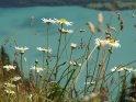 Margeriten mit dem Brienzer See im Hintergrund