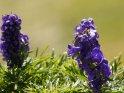 Dieses Motiv wurde am 31. Oktober 2011 in die Kategorie Blumen im Berner Oberland eingefügt.