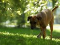 Rhodesian Ridgeback Mix    Dieses Motiv findet sich seit dem 24. September 2011 in der Kategorie Hunde.