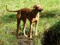 Rhodesian Ridgeback    Dieses Motiv befindet sich seit dem 30. Januar 2012 in der Kategorie Hunde.