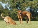 Rhodesian Ridgeback  und Rhodesian Ridgeback Mix    Dieses Motiv finden Sie seit dem 24. September 2011 in der Kategorie Hunde.