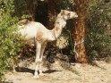 Kamel steht angeleint unter Palmen