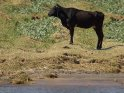 Rind steht am Ufer des Nils