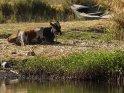 Rind hat es sich am Nilufer gemütlich gemacht