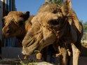 Junge Kamele beim Essen