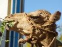 Essendes Kamel im Profil