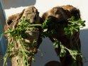 Zwei lustig aussehende Kamele beim Essen
