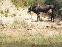 Kuh steht am Nilufer    Dieses Kartenmotiv wurde am 27. Februar 2013 neu in die Kategorie Tiere in Ägypten aufgenommen.