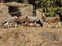 Rinder mit Decken    Dieses Motiv findet sich seit dem 29. August 2013 in der Kategorie Tiere in Ägypten.