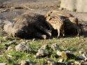 Dieses Kartenmotiv ist seit dem 28. April 2012 in der Kategorie Wildschweine.