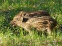 Dieses Motiv findet sich seit dem 28. September 2012 in der Kategorie Wildschweine.