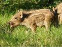 Dieses Kartenmotiv wurde am 28. April 2012 neu in die Kategorie Wildschweine aufgenommen.