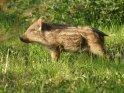 Dieses Motiv finden Sie seit dem 28. April 2012 in der Kategorie Wildschweine.