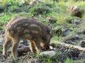 Dieses Motiv befindet sich seit dem 25. August 2013 in der Kategorie Wildschweine.