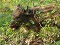 Dieses Motiv findet sich seit dem 28. April 2012 in der Kategorie Wildschweine.