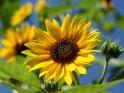 Dieses Motiv findet sich seit dem 24. Juli 2012 in der Kategorie Sonnenblumen.
