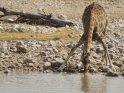 trinkende Giraffe