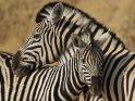 Mit ihrem Jungen kuschelnde Zebra-Mutter