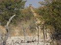 Giraffe    Dieses Kartenmotiv wurde am 27. August 2013 neu in die Kategorie Etosha Nationalpark in Namibia aufgenommen.