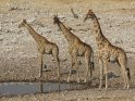 Drei Giraffen am Wasserloch