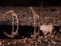 Nashorn mit zwei Giraffen    Dieses Kartenmotiv wurde am 24. August 2013 neu in die Kategorie Etosha Nationalpark in Namibia aufgenommen.