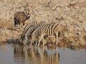 trinkende Zebras mit einer Orxy Antilope im Hintergrund
