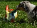 Australian Shepherd Welpe mit einen bunten Osterhasen    Aus der Kategorie Osterbilder