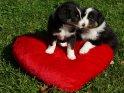 Australian Shepherd Welpen auf einem roten Herz