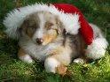 Australian Shepherd Welpe mit einer Weihnachtsmütze