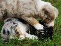 Australian Shepherd Welpen mit einem Fotoapparat