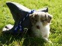 Australian Shepherd Welpe mit Hut
