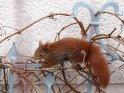 Eichhörnchen auf einem Gitter vor einer Hauswand