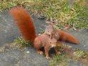 Junges Eichhörnchen stützt sich auf dem Rücken eines seiner Eltern ab.