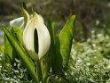 Dieses Kartenmotiv wurde am 30. April 2013 neu in die Kategorie Frühlingsblumen aufgenommen.